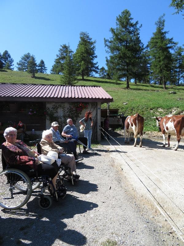 On admire les vaches de l'alpage du Col des Planches